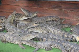 70317-nilskiy krokodil